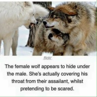 Female wolf protecting male