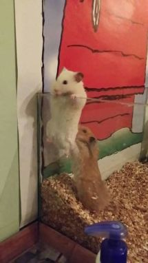 Rats working together to escape
